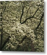 Delicate White Dogwood Blossoms Cover Metal Print