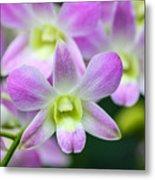 Dendrobium Orchids Metal Print