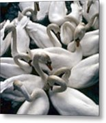 Denmark Swans Gathered On A Lake Metal Print