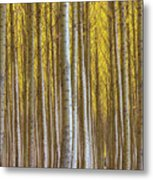 Dense Forest Of Poplar Trees In Boardman Oregon During Fall Metal Print