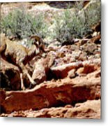 Desert Bighorn Ram Walking The Ledge Metal Print