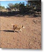Desert Dog Metal Print