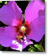 Desert Hibiscus With Honey Bee Metal Print