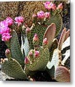 Desert Plants - Fuchsia Cactus Flowers Metal Print