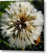 Dew Covered Dandelion Metal Print