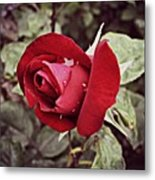 Dew Drop Rose Metal Print