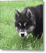 Dew Drops On The Nose Of An Alusky Puppy Dog Metal Print