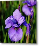 Dew Kissed Iris Metal Print