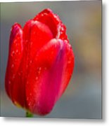 Dew On Tulip Metal Print
