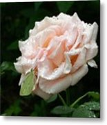 Dewdrops On A Rose Metal Print