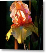 Digital Painting Iris Catching The Sun 6768 Dp_2 Metal Print