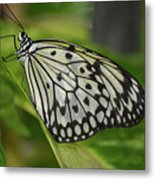 Distinctive Side Profile Of A White Tree Nymph Butterfly Metal Print