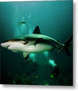 Dive With The Sharks Metal Print