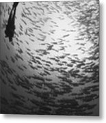 Diver And A Large School Of Bigeye Metal Print