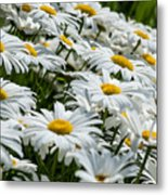 Dizzy With Daisies Metal Print