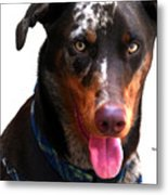 Doberman Australian Shepherd Cattle Dog  Metal Print