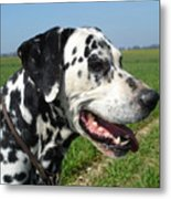 Dodgy The Dalmation Metal Print