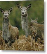 Doe And Young Deer Metal Print