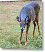 Doe Stomp Metal Print