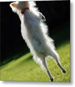 Dog - Jumping Metal Print