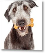 Dog Carrying Bone Biscuit In Mouth Metal Print
