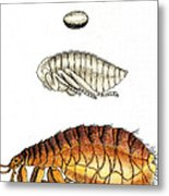 Dog Flea, Lifecycle, Illustration Metal Print
