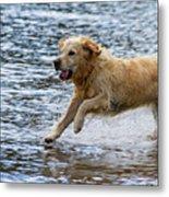 Dog Running On Shallow Lake Shore Metal Print