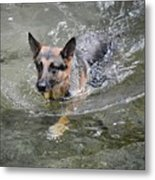 Dog Swimming In Cold Water Metal Print