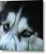 Dog Tired Metal Print