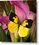 Dogface Butterfly On Pink Calla Lily  Metal Print