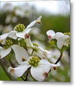Dogwood Blossoms Metal Print