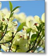 Dogwood Flowers Art Prints Canvas White Dogwood Tree Blue Sky Metal Print