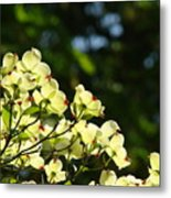 Dogwood Flowers White Dogwood Tree Flowers Art Prints Cards Baslee Troutman Metal Print