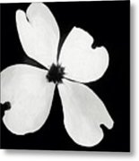 Dogwood In Days Now Past Metal Print