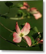 Dogwood In Pink Metal Print