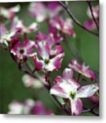 Dogwood Tree Metal Print