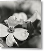 Dogwoods In Black And White Metal Print