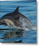 Dolphin Baby Flight Metal Print
