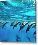 Dolphin Dive Metal Print by Sean Davey