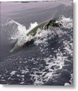 Runnin' Dolphin  Metal Print