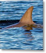 Dolphin Sighting Metal Print