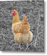 Domestic Feathered Beauty Metal Print