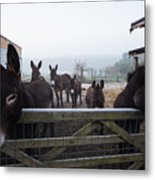 Donkeys Metal Print