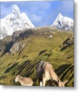 Donkeys Grazing In The Mountains Metal Print
