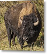 Don't Mess With This Bison Metal Print