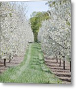 Door County Cherry Blossoms Metal Print