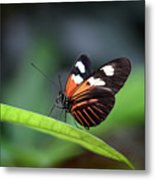 Doris Longwing Butterfly 2017 Metal Print