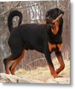 Rottie With A Tail And Stick Metal Print
