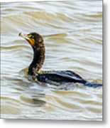 Double-breasted Cormorant Metal Print