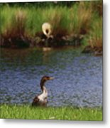 Double-crested Cormorant 2q Metal Print
